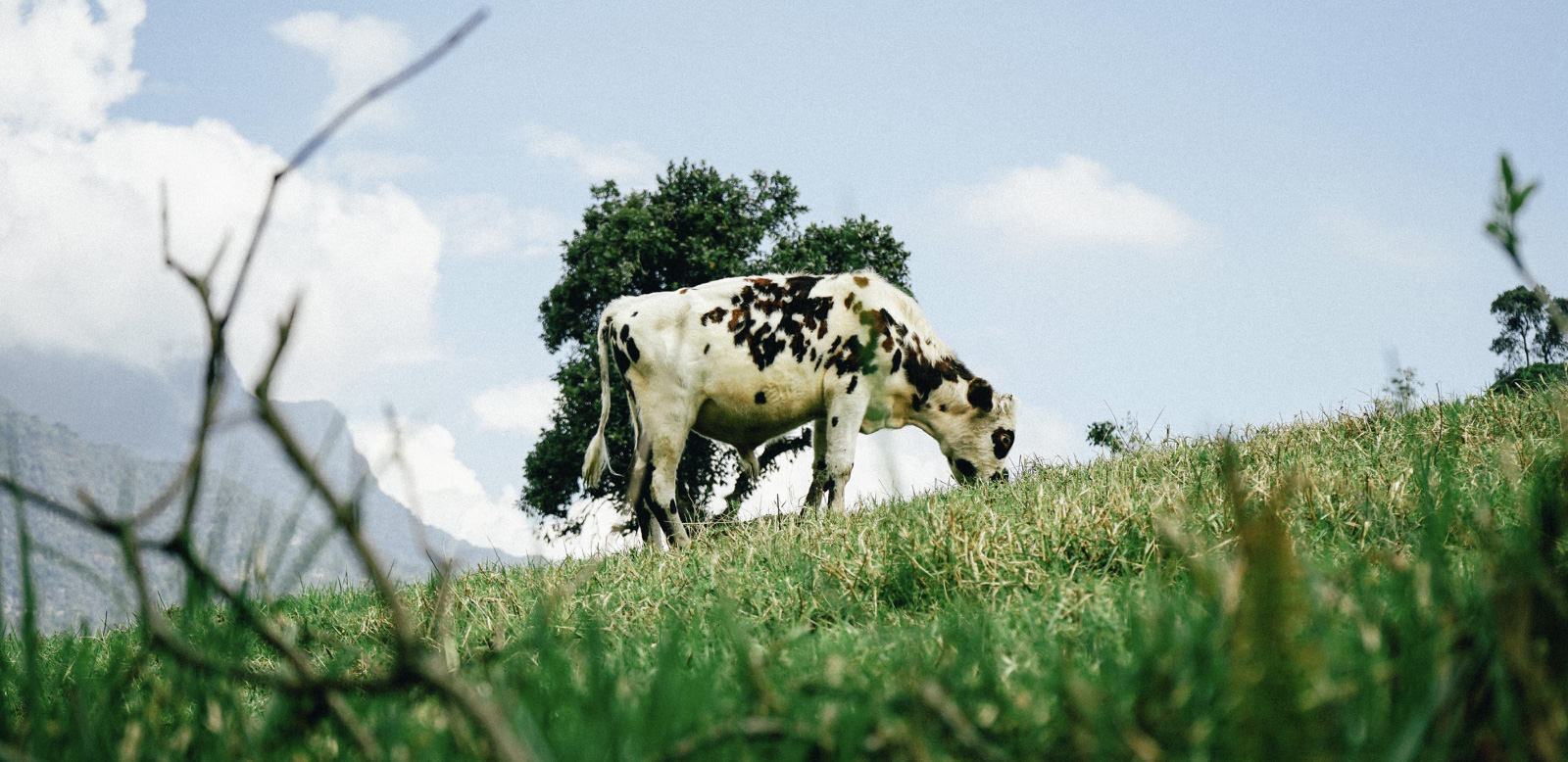 A cow out in the open, portraying grass-fed meat.